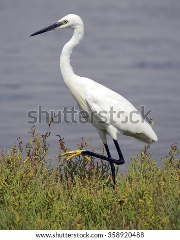 White bird, Little Egret (Egretta garzetta) - stock photo
