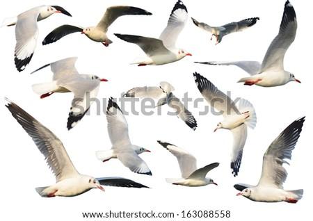 white birds ( Gull ) set. isolated on white  - stock photo