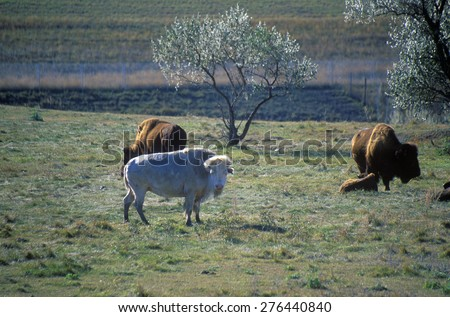 White Bison, White Clouds, Sacred buffalo, National Buffalo Museum, Jamestown, SD - stock photo