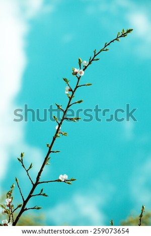 White bloom of a fruit tree in spring against a blue sky in bleached retro colors. - stock photo