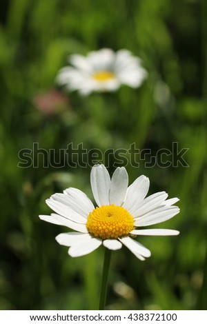 white bloom of daisy wheel and other one blurred at the background - stock photo