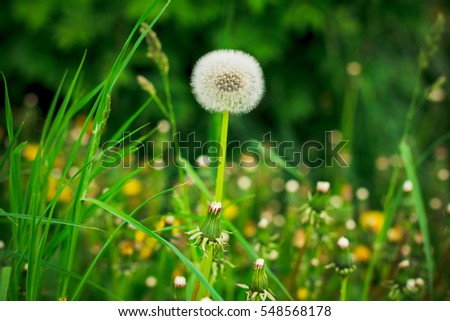 white blooming dandelions in the field