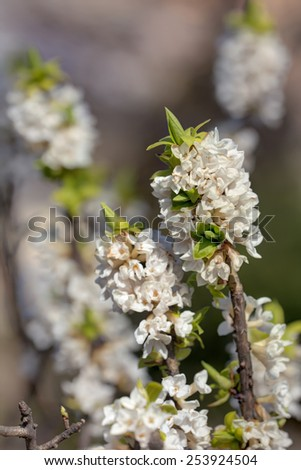 white blooming daphne in spring close up - stock photo