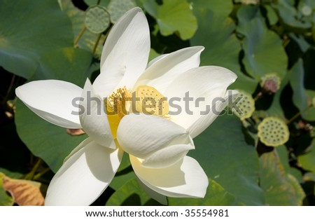 White blooming lotus and its seed pod