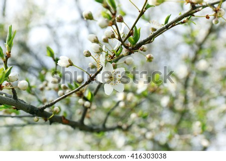White blooming tree branch - stock photo