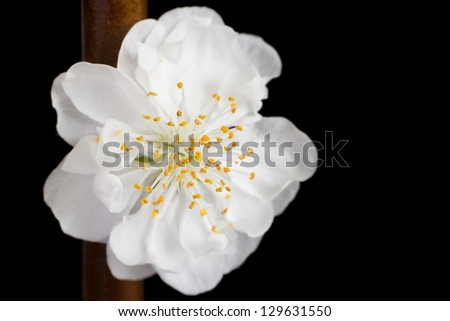 White blossom (Prunus mume also known as Chinese plum or Japanese apricot) on black background