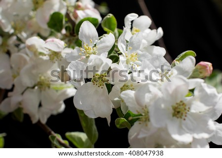 white blossom spring-flowers on a black background. View with shallow depth of field  - stock photo