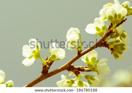 white blossoming flowers on blue background - stock photo