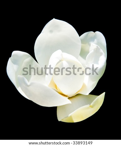 White blossoming magnolia on black ground