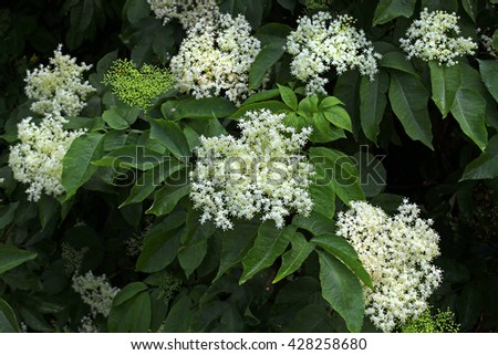 White blossoms elderberry in the background of thick, bright green of its leaves. Abundant flowering medicinal elderberry bush. - stock photo
