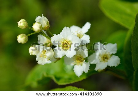 white blossoms on bird cherry tree in sunny summer forest