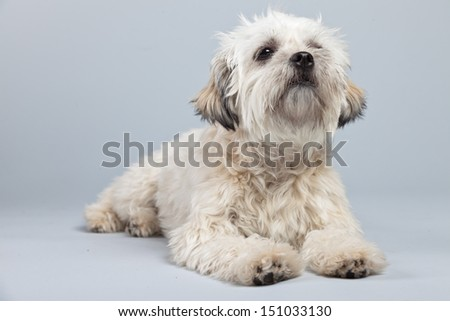 White boomer dog isolated against grey background. Studio portrait.
