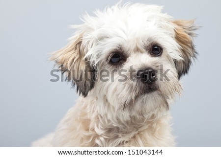White boomer dog isolated against grey background. Studio portrait. - stock photo