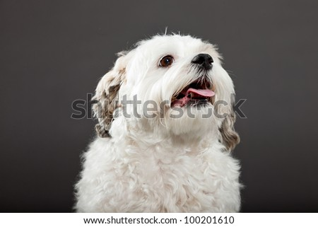 ... grey background. Studio shot. Funny dog with curly hair. - stock photo