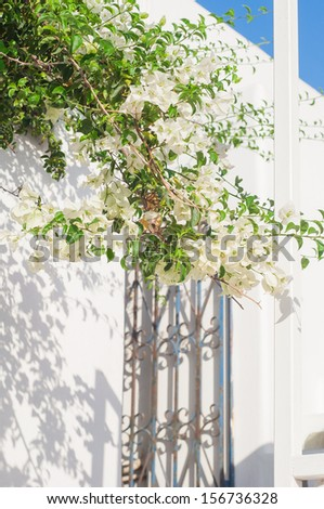 White bougainvillea in bloom around the wicket. Greece. - stock photo