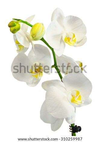 White branch orchid  flowers, Orchidaceae, Phalaenopsis known as the Moth Orchid, abbreviated Phal. White background.
