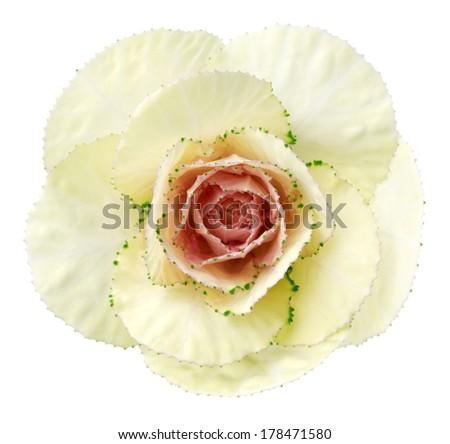 White brassica flower. Deep focus. No dust. No pollen.  - stock photo