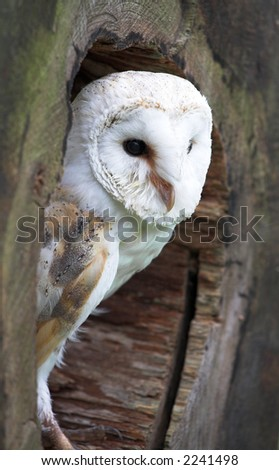 White Breasted Barn Owl - stock photo