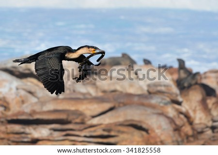 White-breasted cormorant carrying nest material