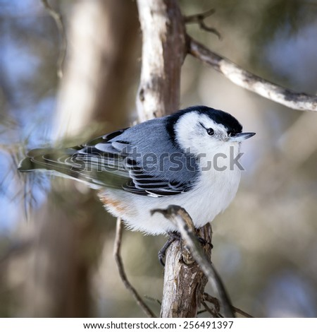 White Breasted Nuthatch Perched on a Branch (Sitta carolinensis)