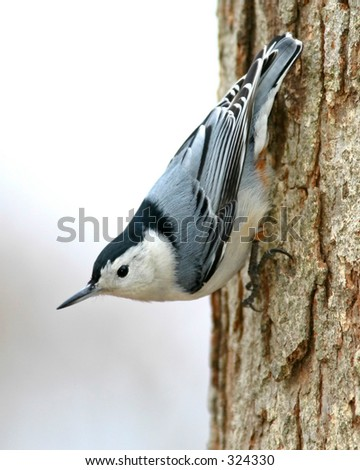 White Breasted Nuthatch - Sitta Canadensis - stock photo