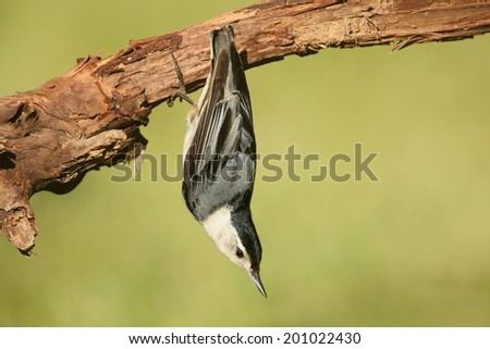White-breasted Nuthatch (sitta carolinensis) on a tree branch with a green background