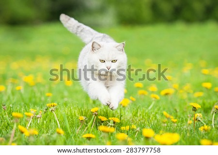 White british shorthair cat jumping on the field with dandelions - stock photo