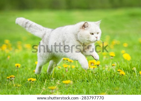 White british shorthair cat jumping on the lawn with dandelions - stock photo