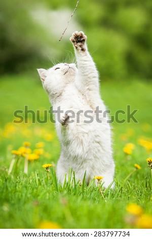 White british shorthair cat playing outdoors - stock photo