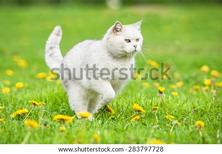 White british shorthair cat running - stock photo