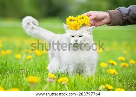White british shorthair cat with wreath of dandelions - stock photo