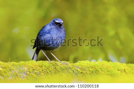 White-browed Shortwing - stock photo