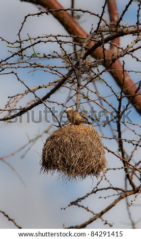 white browed sparrow-weaver stands on top of its upside down nest in Africa