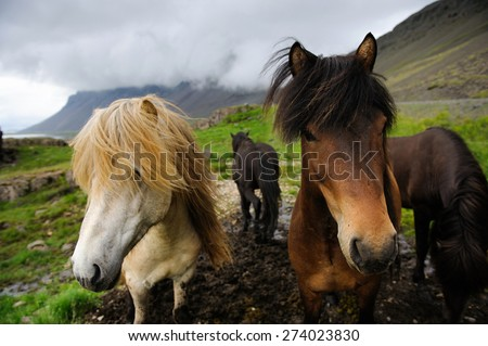 White, brown and black icelandic horses looking in the camera, West Iceland - stock photo