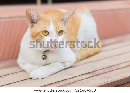 white-brown Cat and Yellow cat eyes crouched on the wooden floor - stock photo