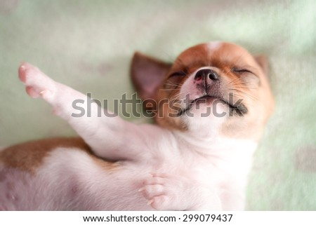 White brown chihuahua puppy is sleeping on mattress