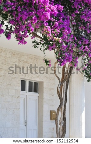 White building with beautiful Bougainvillea flowers at the entrance in Croatia - stock photo