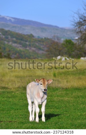 White bull calf - stock photo