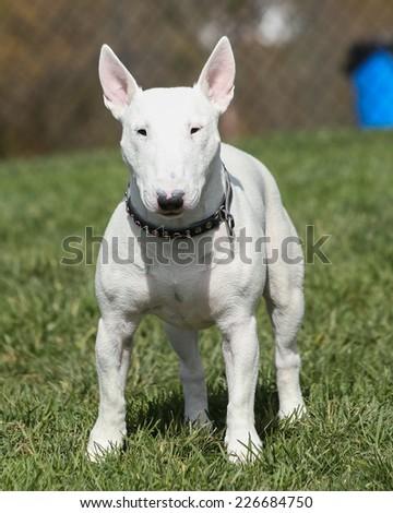 White bull terrier posing at the park - stock photo