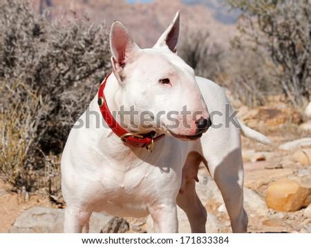 White bull terrier posing in profile out in the desert - stock photo