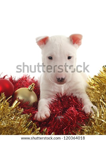 White bull terrier puppy with christmas balls and garlands in a white isolated background