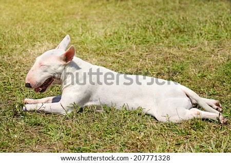White Bull terrier resting in the park