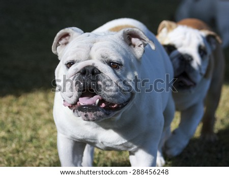 White bulldog being followed at the park by a puppy - stock photo