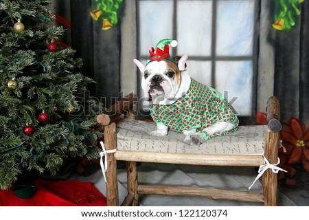 White bulldog dressed as an elf - stock photo