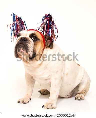 White bulldog dressed up for 4th of July - stock photo