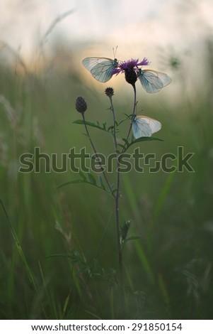 white butterfly Aporia crataegi on the pink flower - stock photo