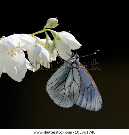 White butterfly hanging on a beautiful flower jasmine - stock photo