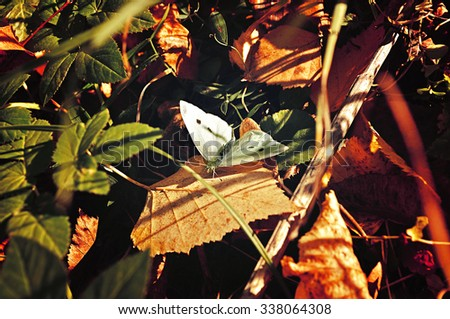 White butterfly - in Latin Pieris brassicae - among the fallen yellowed leaves under the sunlight. Selective focus at the butterfly. Shallow depth of field. Vintage tones processing.  - stock photo