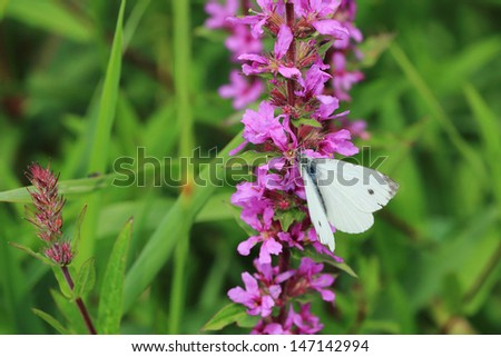 White Butterfly in the green Nature