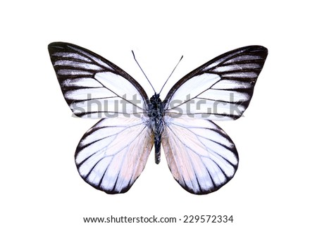 white butterfly isolated  - stock photo
